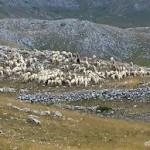 pastore siciliano